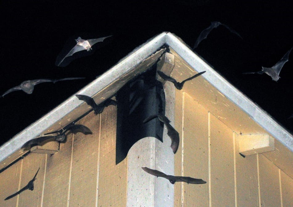 Bat removal tips