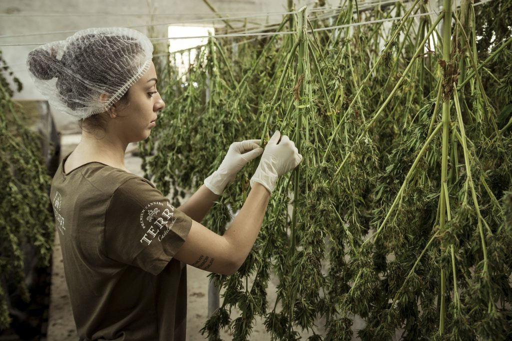 Cannabis production