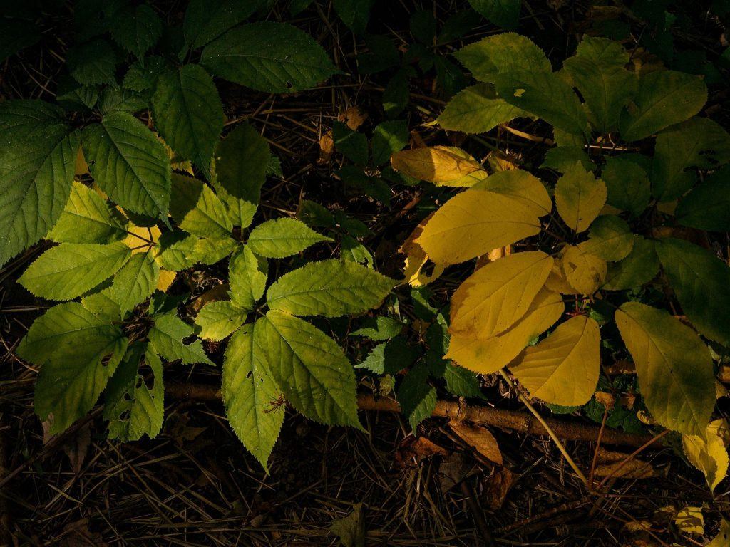 How To Hunt for Wild Ginseng: 3 Steps